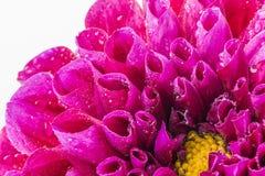 Δροσοσκέπαστο λουλούδι νταλιών Στοκ φωτογραφία με δικαίωμα ελεύθερης χρήσης