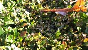 Δροσοσταλίδες στο spiderweb στα φύλλα θάμνων πυξαριού στο πάρκο φθινοπώρου απόθεμα βίντεο