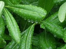 Δροσοσταλίδες στα πράσινα φύλλα Στοκ εικόνα με δικαίωμα ελεύθερης χρήσης