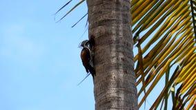 Δρυοκολάπτης που ραμφίζει ένα δέντρο, πουλί δρυοκολαπτών απόθεμα βίντεο