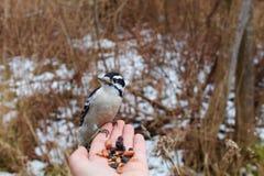 Δρυοκολάπτης Downey που τρώει από το χέρι Στοκ Φωτογραφίες