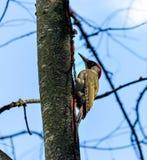 Δρυοκολάπτης σε ένα δέντρο Στοκ Εικόνες