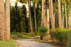 Δρόμος ασφάλτου σε ένα δάσος πεύκων Στοκ Εικόνες