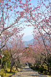 Δρόμος βουνών ανθών κερασιών στην Ταϊβάν Στοκ Εικόνες