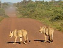 δρόμος λιονταριών στοκ φωτογραφία