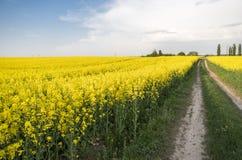 Δρόμος μέσω του ατελείωτου τομέα συναπόσπορων βιασμός πεδίων Κίτρινοι τομείς συναπόσπορων και νεφελώδης μπλε ουρανός με τα σύννεφ Στοκ Εικόνα