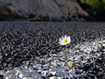 δρόμος μαργαριτών Στοκ Εικόνα