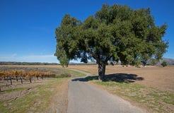 Δρόμος μετά από το δρύινο δέντρο Καλιφόρνιας μέσω των αμπελώνων Καλιφόρνιας sauvignon blanc στις ΗΠΑ στοκ φωτογραφίες με δικαίωμα ελεύθερης χρήσης