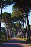 Δρόμος με τα δέντρα πεύκων Στοκ Εικόνες