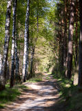 Δρόμος σε ένα άλσος σημύδων Στοκ Φωτογραφίες