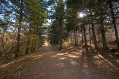 Δρόμος σε ένα δάσος φθινοπώρου με τα δέντρα πεύκων στοκ φωτογραφία με δικαίωμα ελεύθερης χρήσης