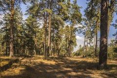 Δρόμος στο δάσος πεύκων στην ηλιόλουστη ημέρα φθινοπώρου Στοκ Φωτογραφία