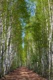 Δρόμος στο άλσος σημύδων. Στοκ εικόνες με δικαίωμα ελεύθερης χρήσης