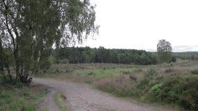 Δρόμος στο δάσος αυλακώματος Cannock, UK απόθεμα βίντεο