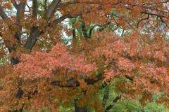Δρύινα δέντρα στα φύλλα στροφής πάρκων στην πορτοκαλιά σκιά φθινοπώρου Στοκ φωτογραφία με δικαίωμα ελεύθερης χρήσης