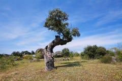 Δρύινα δέντρα φελλού Στοκ φωτογραφίες με δικαίωμα ελεύθερης χρήσης
