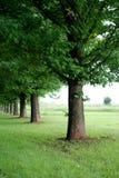δρύινα δέντρα σειρών Στοκ Φωτογραφίες