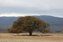 Δρύινα δέντρο και βουνά Στοκ Εικόνες