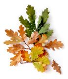 Δρύινα φύλλα απομονωμένο στο λευκό υπόβαθρο στοκ φωτογραφία με δικαίωμα ελεύθερης χρήσης