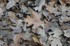 Δρύινα φύλλα στο επίγειο καφετί και γκρίζο χρώμα στοκ εικόνες