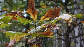 Δρύινα φύλλα φθινοπώρου στο θολωμένο υπόβαθρο απόθεμα βίντεο