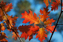 Δρύινα φύλλα στοκ φωτογραφία