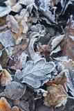 Δρύινα φύλλα, hoar Στοκ Εικόνες