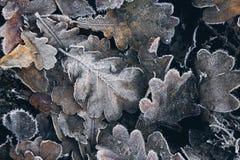 Δρύινα φύλλα, hoar Στοκ εικόνες με δικαίωμα ελεύθερης χρήσης