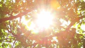 Δρύινα φύλλα και ο ήλιος απόθεμα βίντεο