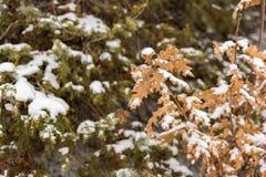 Δρύινα φύλλα που καλύπτονται από το χιόνι κοντά επάνω Στοκ Φωτογραφία