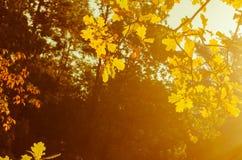 Δρύινα φύλλα πτώσης Στοκ Φωτογραφίες