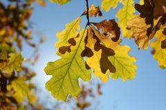 Δρύινα φύλλα φθινοπώρου Στοκ Φωτογραφία