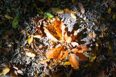 Δρύινα φύλλα φθινοπώρου Στοκ εικόνες με δικαίωμα ελεύθερης χρήσης