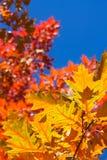 Δρύινα φύλλα Στοκ Φωτογραφίες