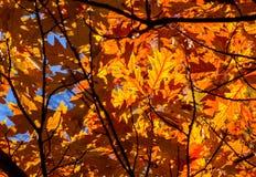 Δρύινα φύλλα Στοκ εικόνα με δικαίωμα ελεύθερης χρήσης