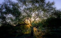 Δρύινη ανατολή δέντρων στοκ φωτογραφία με δικαίωμα ελεύθερης χρήσης