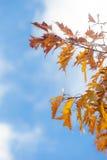 Δρύινη περίληψη φύλλων φθινοπώρου Στοκ φωτογραφίες με δικαίωμα ελεύθερης χρήσης
