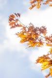 Δρύινη περίληψη φύλλων φθινοπώρου Στοκ εικόνες με δικαίωμα ελεύθερης χρήσης