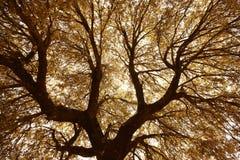 Δρύινοι κλάδοι ακροποταμιών και φύλλα στο θερμό τόνο, Ισπανία Στοκ Εικόνες