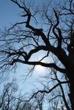 Δρύινος-δέντρο Στοκ εικόνες με δικαίωμα ελεύθερης χρήσης