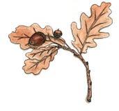 Δρύινος κλάδος με τα φύλλα και τα βελανίδια Απεικόνιση αποθεμάτων