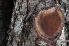 Δρύινος τραχύς φλοιός δέντρων με ένα κλαδί περικοπών στοκ φωτογραφία με δικαίωμα ελεύθερης χρήσης