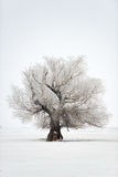 Δρύινος χειμώνας δέντρων Στοκ Εικόνες