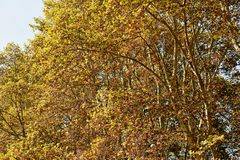 Δρύινος χρωματισμός Στοκ εικόνες με δικαίωμα ελεύθερης χρήσης