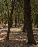 Δρύινο δάσος δέντρων ακροποταμιών Στοκ Φωτογραφία