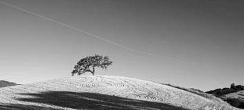 Δρύινο δέντρο κοιλάδων Καλιφόρνιας στους οργωμένους τομείς στη χώρα κρασιού Paso Robles σε κεντρική Καλιφόρνια ΗΠΑ - γραπτή Στοκ Φωτογραφίες