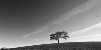 Δρύινο δέντρο κοιλάδων Καλιφόρνιας στους οργωμένους τομείς στη χώρα κρασιού Paso Robles σε κεντρική Καλιφόρνια ΗΠΑ - γραπτή Στοκ Εικόνες
