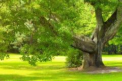 Δρύινο δέντρο μια ηλιόλουστη ημέρα Στοκ Φωτογραφίες