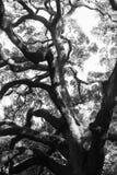 Δρύινο δέντρο σαβανών Στοκ φωτογραφία με δικαίωμα ελεύθερης χρήσης
