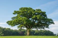 Δρύινο δέντρο σε έναν τομέα Στοκ φωτογραφία με δικαίωμα ελεύθερης χρήσης